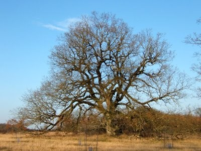 arbre_suin_causse.jpg
